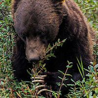 Grizzly bear with gps collar and ear tag, foraging for buffalo berries, Kootenay National Park, Alberta, Canada