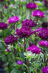 Aster Callistephus Hana series 'Purple'