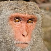 Adult male Formosan Macaque at Nanhua Monkey preserve, Tainan, Taiwan