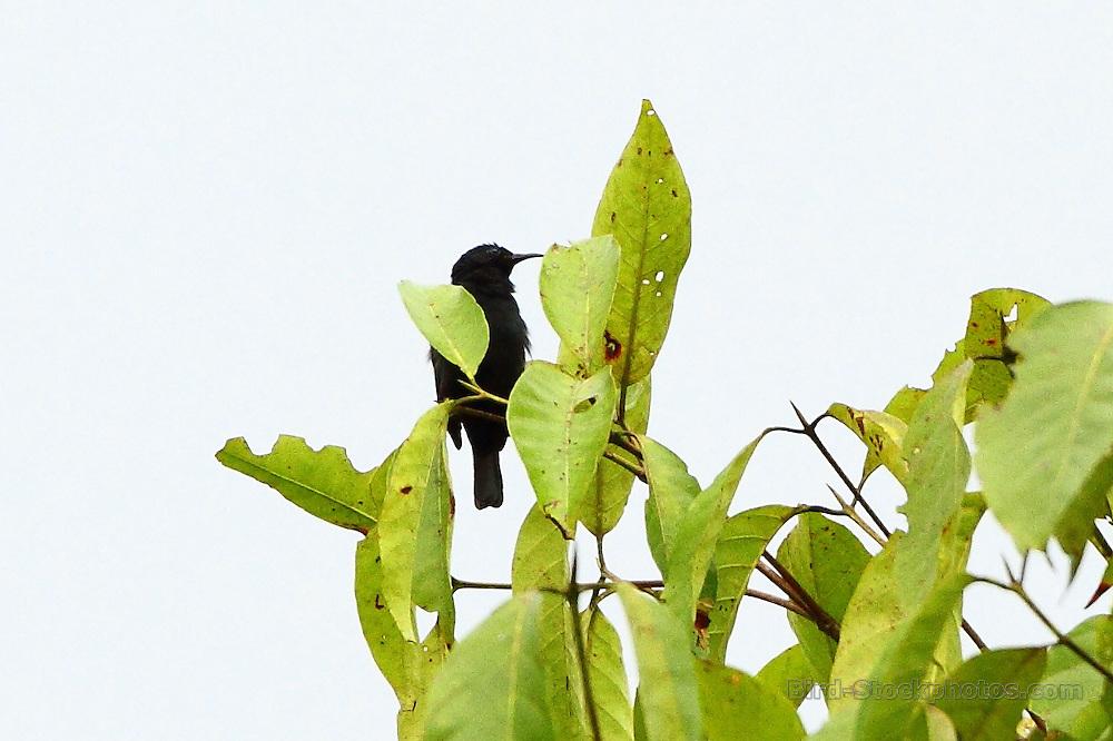 Papuan Black Myzomela, Myzomela nigrita, Papua New Guinea, by Markus Lilje