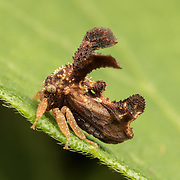 Treehoppers (more precisely typical treehoppers to distinguish them from the Aetalionidae) and thorn bugs are members of the family Membracidae.