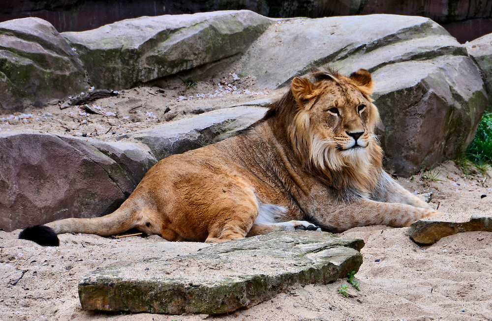 Smiling Male Asiatic Lion at Antwerp Zoo in Antwerp, Belgium <br />