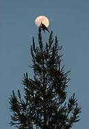 Bird on treetop and moon, Uvas Canyon County Park, Santa Clara County, California