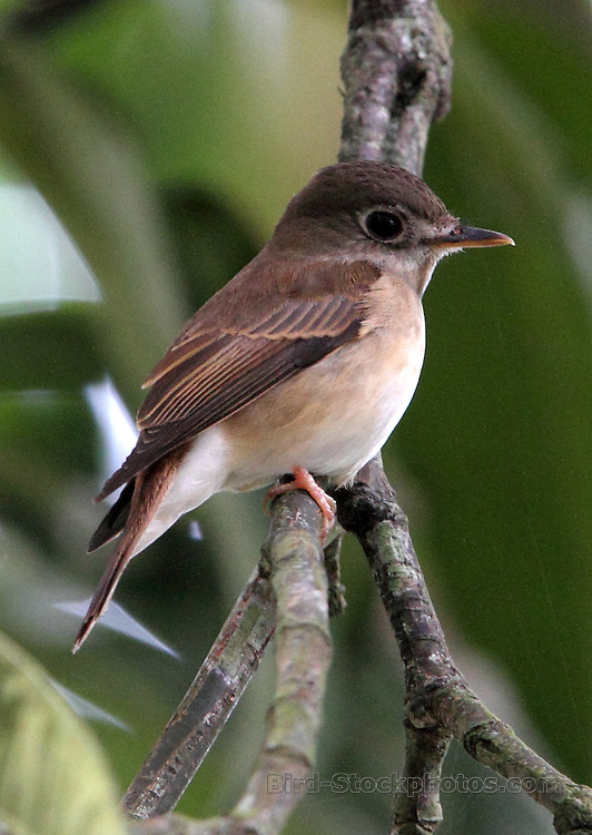Asian Brown Flycatcher, Muscicapa dauurica, Kitulgala, Sri Lanka, by Jonathan Rossouw