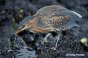 endemic Galapagos heron or lava heron, Butorides sundevalli, eating a Sally Lightfoot crab, Grapsus grapsus, Galapagos Islands, Ecuador,  ( Eastern Pacific Ocean )