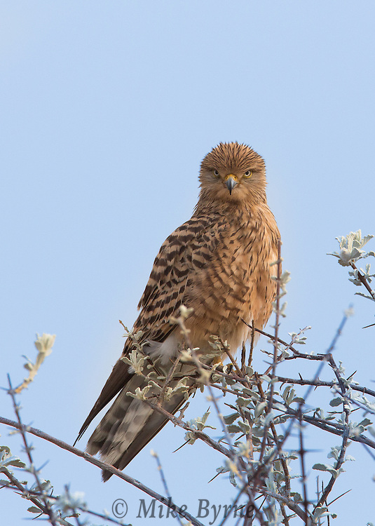 Greater kestrel perched at tree top in Etosha, Namibia.