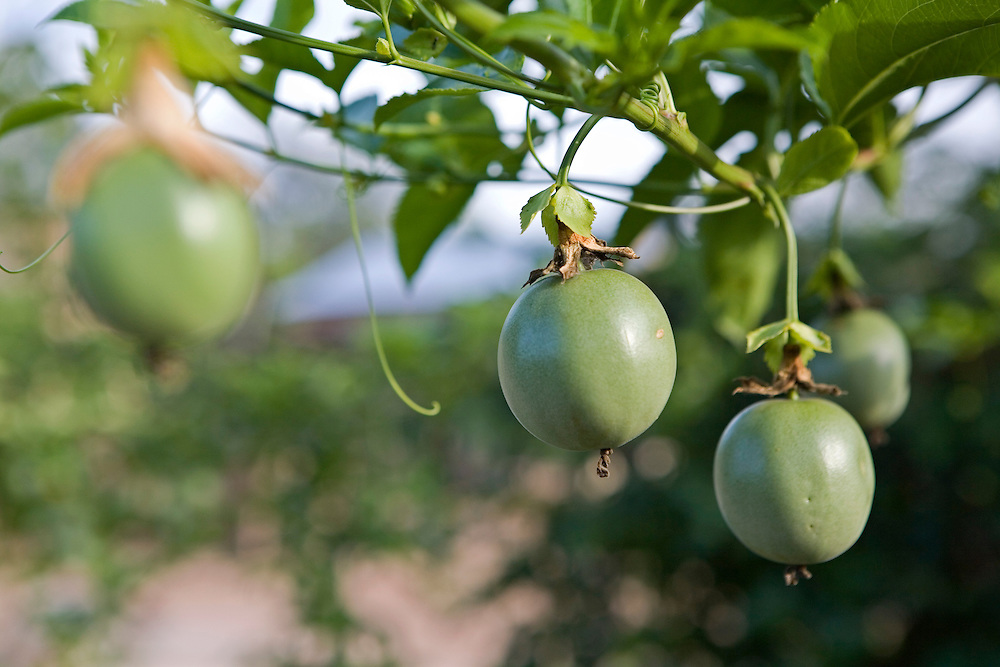 Healthy looking organic Passion fruits on a farm that's had training on sustainable organic agriculture by Kulika in Uganda.