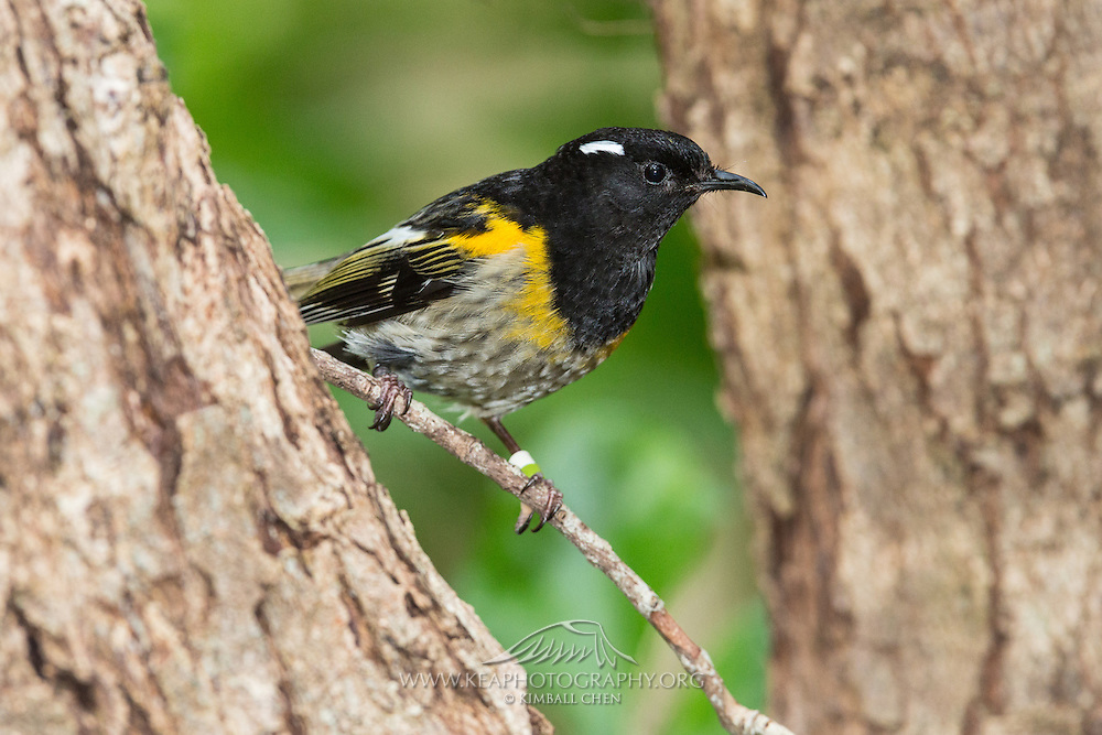 Previously categorized as a honeyeater along with the tui and bellbird, the stitchbird is now classed as the only member of its own family, the Notiomystidae. The stitchbird's nearest relative appears to be New Zealand wattlebirds, such as kokako.
