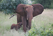 Elephant feeding a young,Tarangire National Park, United Republic of Tanzania, Tarangire Park is located about 120km from Arusha, south east of Manyara.
