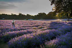 © Licensed to London News Pictures. 05/07/2017. Banstead, UK. A visitor walks at first light as sunshine bathes the crop at Mayfield Lavender Farm on the North Downs, where lavender production first flourished 100 years ago. Organic oils, fragrances, food, lavender bunches and other gifts are for sale  to visitors to the farm and at a nearby nursery and gift shop. Images taken with the permission of Mayfield Lavender. Photo credit: Peter Macdiarmid/LNP
