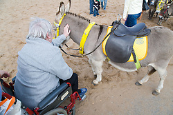 Wheelchair user with Multiple, Sclerosis stroking a donkey on the beach whilst on a day trip to Skegness organised by Nottingham Disabled Friendship Club,
