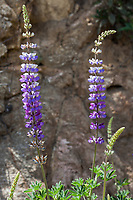 Lupinus longifolius (Bush lupine) at Grizzly Flat, Angeles NF, Los Angeles Co, CA, USA, on 05-May-18