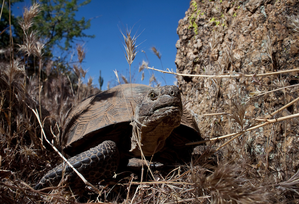 "Desert tortoise #634, a 30 to 40 year-old female, was found while searching for juvenile tortoises in the Tonto National Forest. Arizona Game and Fish Turtles Project Coordinator Cristina Jones and Wildlife Specialist Audrey Jones are conducting the desert tortoise survey.  One of the greatest risks to desert species is fragmented habitat, when cities, canals, fences, freeways, even a dirt road in the forest chop up landscape that once let indigenous species roam freely in search of the sparse food and water sources. ""There are eight times as many road miles in national forests as on the interstate freeway system,"" said Matt Skroch, executive director of the Arizona Wilderness Coalition. ""A lot of them might be dirt, but just a de-vegetated strip can act as a barrier."""