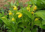 Yellow Ladyslipper Orchid, oor Cypripedium pubescens growning in my backyard in Blowing Rock NC