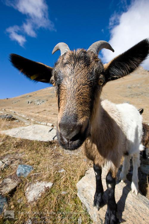 Valais Blackneck Goat kid (Capra hircus) high in the Swiss Alps above Zermatt, Switzerland