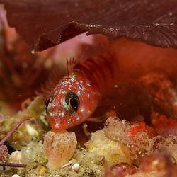 Blue eyed triplefin, Notoclinops segmentatus