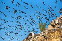 Heerman's Gulls taking off in numbers on Isla Rasa in the Sea of Cortez, Baja California, Mexico.