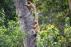 Proboscis monkeys are pictured at Labuk bay, on August 5, 2019 near Sandakan city, State of Sabah, North of Borneo Island, Malaysia. Palm oil plantations are cutting down primary and secondary forests vital as habitat for wildlife including the critically endemic proboscis monkeys. Photo by Emy/ABACAPRESS.COM