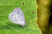 Summer Azure (Celastrina ladon) sitting on the leave with its wings folded up