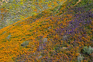 California poppies and bluebells fill the frame as they carpet a hillside