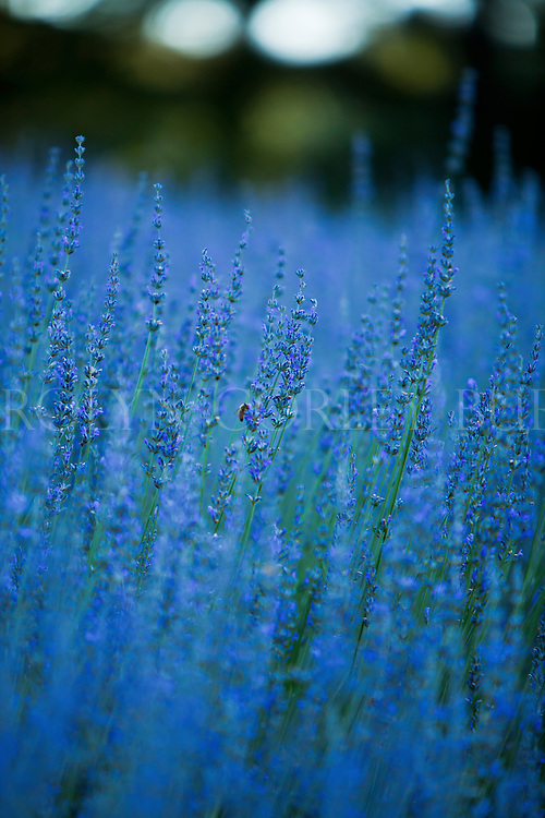 Summer Lavender and Bee, commercial photography, Napa Valley, landscape photography, nature, lavender, bee