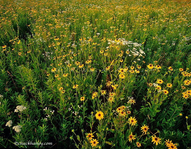 A vast field of tallgrass prairie wildflowers at Starved Rock State Park in Illinois