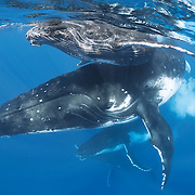 This is a female humpback whale (Megaptera novaeangliae) accompanied closely by her male calf. Underneath her are two escort whales, both males competing for her attention. Note the exhalation of a cloud of bubbles by one of the escort whales. In this context, such a display is most likely intended as a display of dominance.