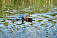 A male Ruddy Duck swims in a northern Utah marsh during nesting season.