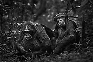 Zwei hochrangige Schimpansenmännchen (Pan troglodytes) bei der gegenseitigen Fellpflege, Kibale Forest, Uganda<br /> <br /> Two high-ranking male chimpanzees (Pan troglodytes) in mutual grooming, Kibale Forest, Uganda