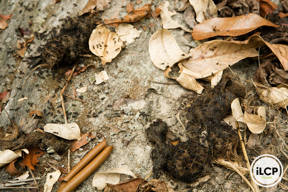 African Leopard (Panthera pardus) scat covered with ants, Lope National Park, Gabon