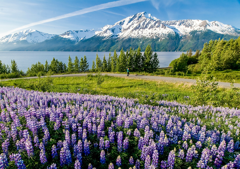 Chugach State Park, Bird Point, Alaska. A hiker at Bird Point enjoys the wildflower lupine field on a spring morning with the Chugach Mountains across Turnagain Arm.