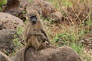 Olive baboon (Papio anubis). Photographed in Lake Manyara, Tanzania
