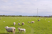 Sheep are standing in a field near Easingwold, Yorkshire, England, United Kingdom.