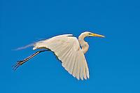 Great Egret (Ardea alba), Esteros del Ibera, Argentina Image by Andres Morya
