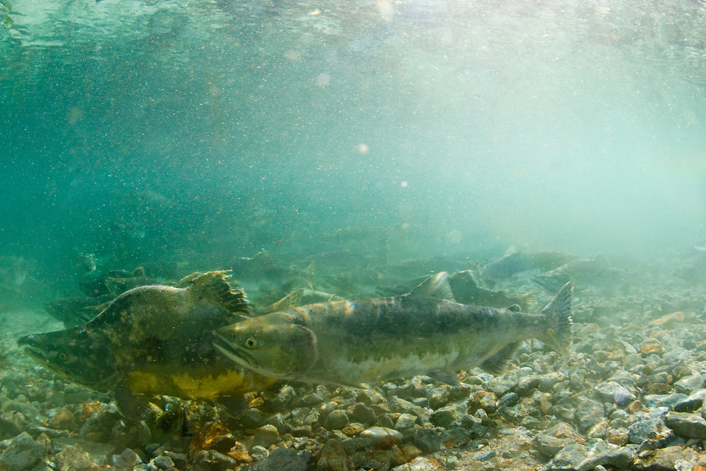 USA, Alaska, Katmai National Park, Kinak Bay, Underwater view of Spawning Chum Salmon (Oncorhynchus keta) in shallow river on autumn afternoon