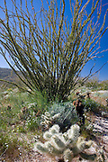 Cholla Cactus and Ocotillo tree in the Anza-Borrego Desert, California, USA
