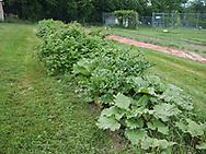 Harmony Farm, Goshen, NY  - rubarb and raspberries