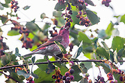 A male house finch (Haemorhous mexicanus) feasts on serviceberries in Snohomish County, Washington.
