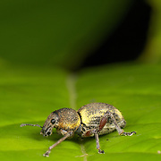 """A weevil is a type of beetle from the Curculionoidea superfamily. Curculionidae is the family of the """"true"""" weevils (or """"snout beetles"""")."""