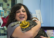 Wantagh, New York, USA. 7th February 2016. Volunteer LAURA LANG holds Tabby cat ALEXANDER, the Mayor of Last Hope Rescue, wearing a glittery gold hat during Last Hope Animal Rescue's Open House during Hallmark Channel Kitten Bowl III television special. Alexander appeared on the TV show with its host B. Stern, who announced Alex is available for adoption. People at the center watched the game and cheered on their team, the Last Hope Lions. Over 100 adoptable kittens from Last Hope Inc and North Shore Animal League America participated in the taped games, and the Home and Family Felines won the 2016 championship, which first aired the day of Super Bowl 50.