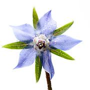 Borage flower close-up