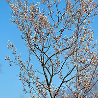 The early spring flowers of Allegheny serviceberry, or shadbush (Amelanchier laevis)