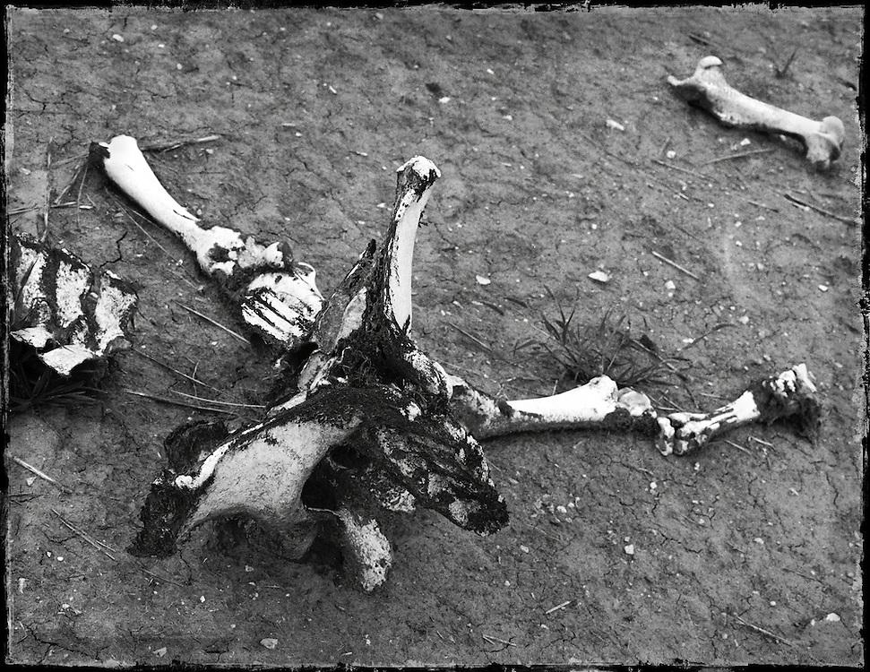 Bones Series - Roadkill Images from the Black Hills Region of South Dakota