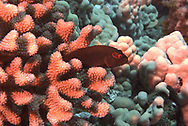 Arc-eye Hawkfish, on Guard, Paracirrhites Arcatus, (Cuvier, 1829), Maui Hawaii