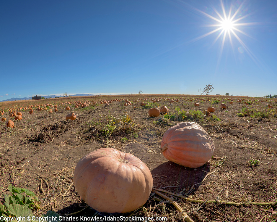 Pumpkins in a field with sun and blue sky, rural Idaho.