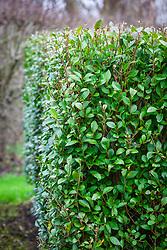 Privet hedge. Ligustrum ovalifolium