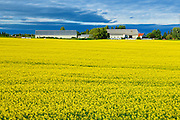 Canola field<br /> Jonquiere<br /> Quebec<br /> Canada