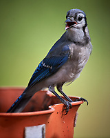 Blue Jay on a hot day. Image taken with a Nikon D5 camera and 600 mm f/4 VR lens