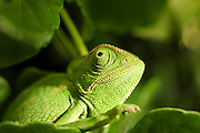 Common Chameleon (Chamaeleo chamaeleon), The common chameleon and its subspecies are found throughout much of North Africa and the Middle East as well as southern parts of Mediterranean Europe. Photographed in Israel.