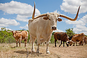 "Goodnight and Loving herded Texas longhorns on the trail. ""As trail cattle their equal has never been known and never will be,"" said Goodnight of the breed. ""They can go farther without water and endure more suffering than others."" Since 1948, Ft. Griffin has been home to the official Texas State Longhorn herd, retaining the genetic purity of the breed. The herd, now numbering over 250, roams the park and archaeological sites."
